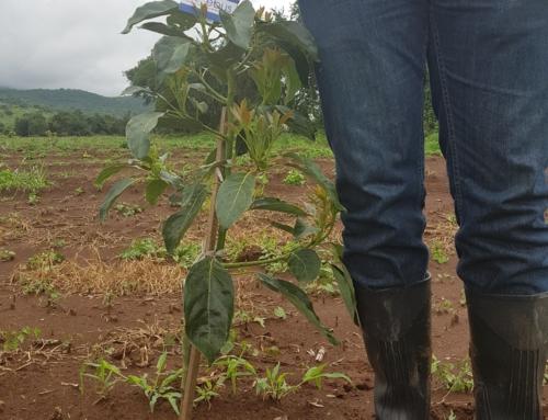 Huerto recién plantado y tratado con microorganismos, Jalisco