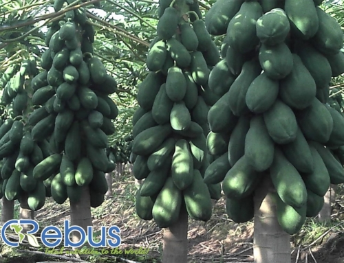 Papaya, Tecoman, Colima
